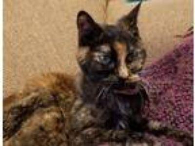 Adopt Hailey a Tortoiseshell American Shorthair / Mixed cat in Desoto