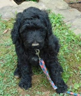 Pyredoodle PUPPY FOR SALE ADN-79443 - F1b Pyredoodle