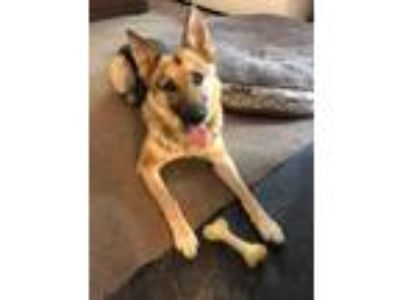 Adopt Layla a Black - with Tan, Yellow or Fawn German Shepherd Dog / Mixed dog