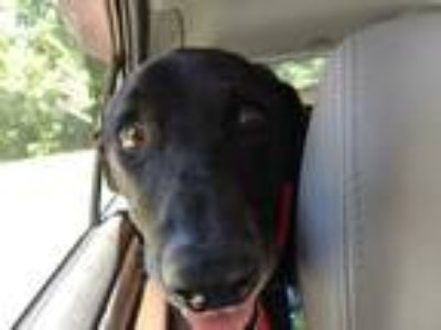 Adopt Cartel a Black Labrador Retriever / Mixed dog in Staunton, VA (25592289)