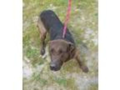 Adopt Cinnamon a Black Labrador Retriever / Mixed dog in Georgetown
