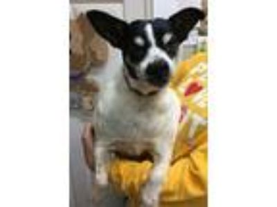Adopt Gizmo a Jack Russell Terrier