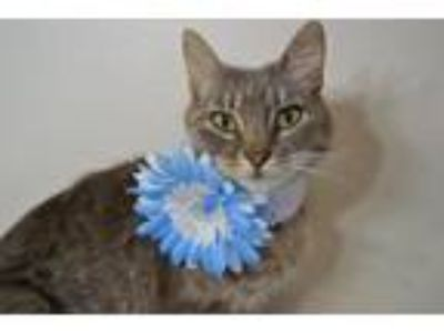 Adopt Eleanor a Gray, Blue or Silver Tabby Domestic Shorthair / Mixed (short