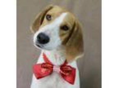 Adopt Bubba a Black Treeing Walker Coonhound / Mixed dog in Picayune