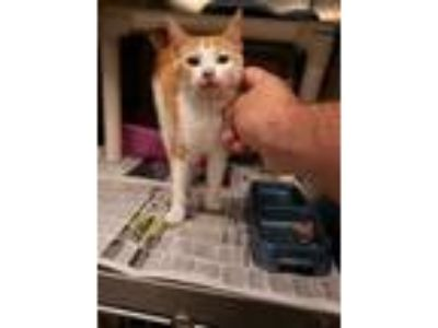 Adopt Chumbawumba a Orange or Red Domestic Shorthair / Domestic Shorthair /