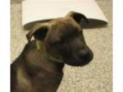 Adopt Quetzal a Siberian Husky / American Pit Bull Terrier / Mixed dog in