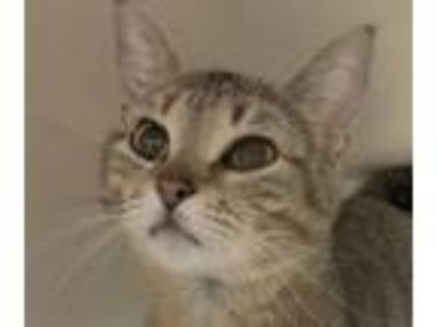 Adopt Queenie a Domestic Short Hair, Tabby