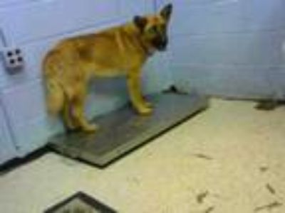 Adopt CHIVE a German Shepherd Dog