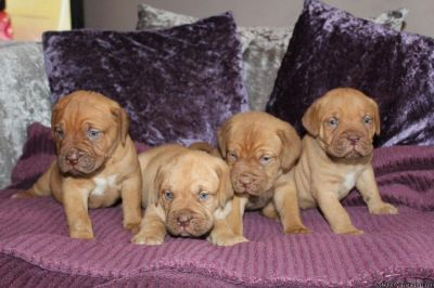 Topys & Smart Gorgeous Bordeaux Puppies! Ready To Go In 12 Weeks