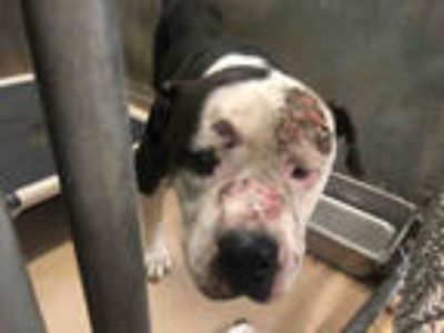 Adopt MAJIC a Gray/Silver/Salt & Pepper - with White American Pit Bull Terrier /