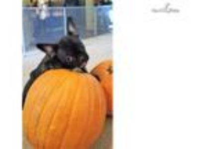 black brindle french bulldog female