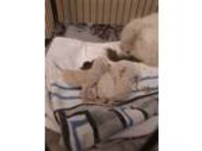 Adopt BABY 5 a White Domestic Mediumhair / Domestic Shorthair / Mixed cat in