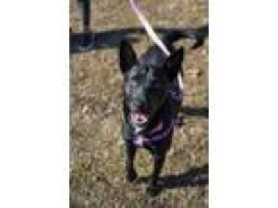 Adopt Carolina Grace a German Shepherd Dog, Labrador Retriever