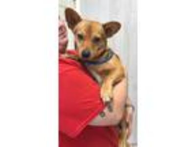 Adopt Koby a Tricolor (Tan/Brown & Black & White) Corgi / Beagle / Mixed dog in