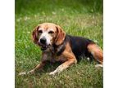 Adopt Breeze a Beagle