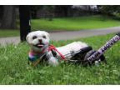Adopt fluffy snickers a White Shih Tzu / Mixed dog in Astoria, NY (25872892)