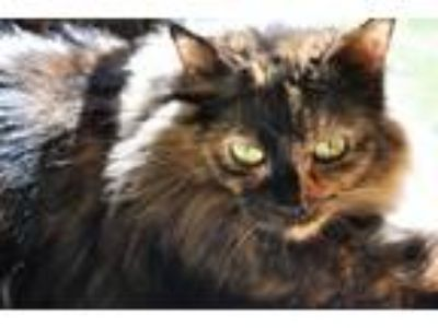 Adopt Rose a Tortoiseshell Domestic Longhair / Mixed cat in Cary, NC (20271917)