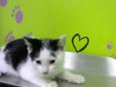 Adopt HUTCH a White (Mostly) Domestic Shorthair / Mixed (short coat) cat in