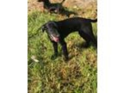 Adopt Little one a Black Labrador Retriever / Pointer / Mixed dog in New Smyrna