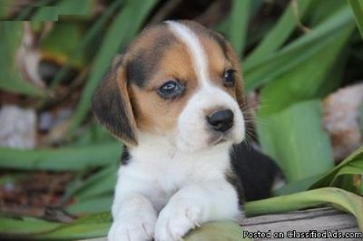 Home New Beagle Dog For Sale