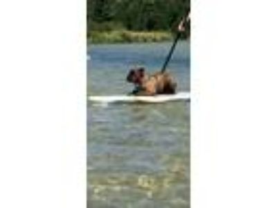 Adopt Lincoln a Brindle American Pit Bull Terrier / Bullmastiff dog in Jackson