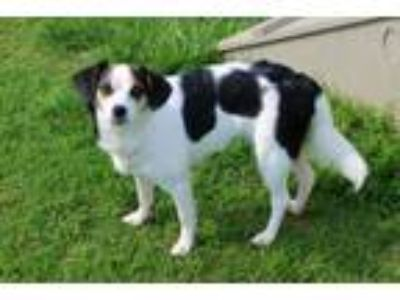 Adopt BUBBLES a Rat Terrier, Mixed Breed
