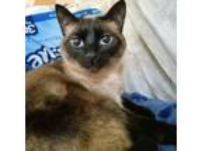 Adopt KIKI - Offered by Owner _ Siamese/Ragdoll a Tan or Fawn Siamese / Mixed