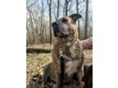 Adopt Lisa a Brindle Shepherd (Unknown Type) / Mixed dog in Oak Pak