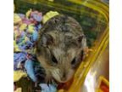 Adopt Creed a Hamster small animal in Oceanside, CA (25081647)