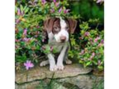 Adopt Ginger a German Shorthaired Pointer, Beagle