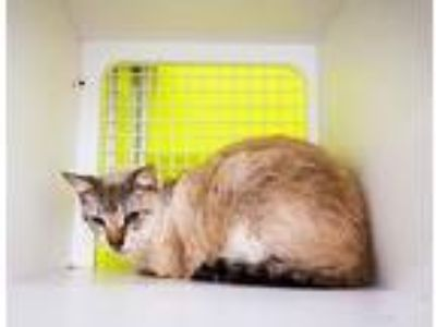 Adopt Parker a Domestic Shorthair / Mixed (short coat) cat in St.