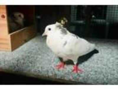Adopt Speck w/Mettle a Pigeon