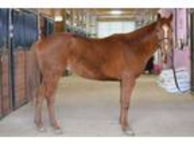 Adopt Salty Slew a Thoroughbred