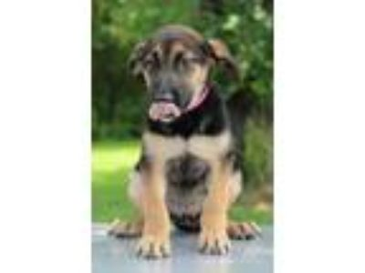 Adopt Macy a Black - with Tan, Yellow or Fawn Shepherd (Unknown Type) / Mixed