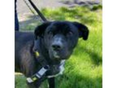 Adopt Micah a Labrador Retriever, Mixed Breed