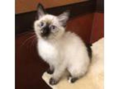 Adopt China a Cream or Ivory Siamese / Domestic Shorthair / Mixed cat in