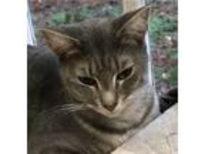 Adopt Halo a Gray, Blue or Silver Tabby Domestic Shorthair cat in Wilson