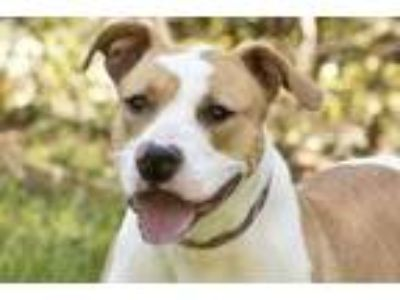 Adopt Titan a Tan/Yellow/Fawn American Pit Bull Terrier / Mixed dog in Cashiers