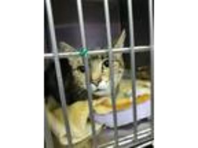 Adopt Barbie a Domestic Shorthair / Mixed (short coat) cat in Henderson