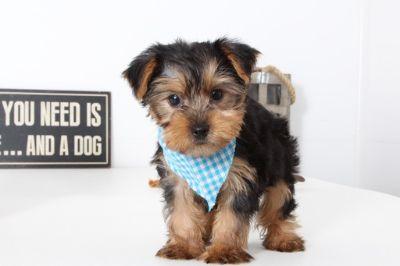 Yorkshire Terrier PUPPY FOR SALE ADN-99499 - Dean Darling Male ACA Yorkie Puppy
