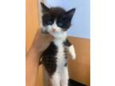 Adopt Kitten 1 a White Domestic Shorthair / Domestic Shorthair / Mixed cat in