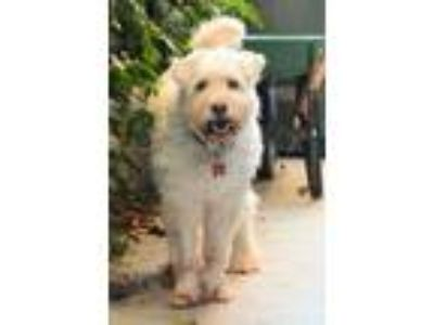 Adopt Panda a White Poodle (Miniature) / Mixed dog in Lake Forest, CA (25021971)