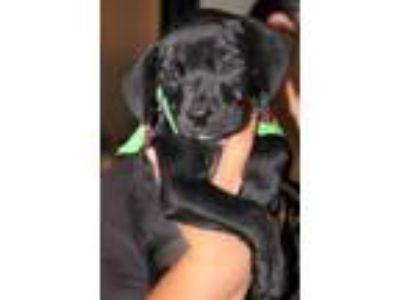 Adopt Malcolm a Black Retriever (Unknown Type) / Mixed dog in Spartanburg