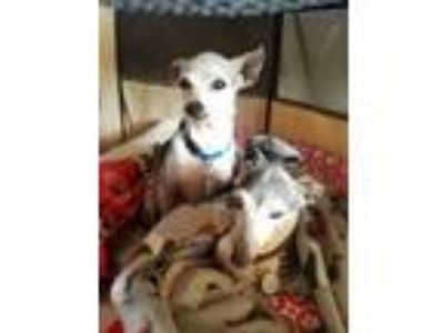 Adopt Noelle- Houston area a Italian Greyhound