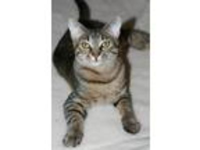 Adopt Sir a Brown Tabby Domestic Shorthair / Mixed cat in Attalla, AL (21373613)