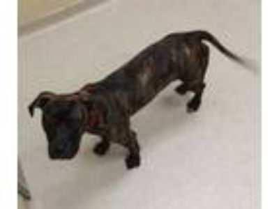 Adopt LUCYLOU a Brindle American Pit Bull Terrier / Mixed dog in Clyde