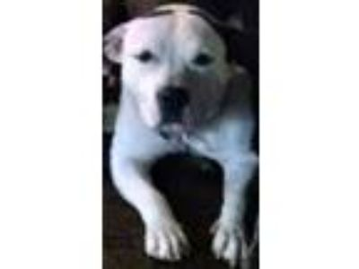 Adopt Bridget a White - with Black Pit Bull Terrier / Mixed dog in Binghamton
