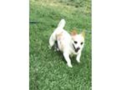 Adopt Tommy a White - with Red, Golden, Orange or Chestnut Corgi / Terrier