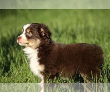 Miniature Australian Shepherd PUPPY FOR SALE ADN-131004 - Itty Bitty Green Eyed Toy Aussie