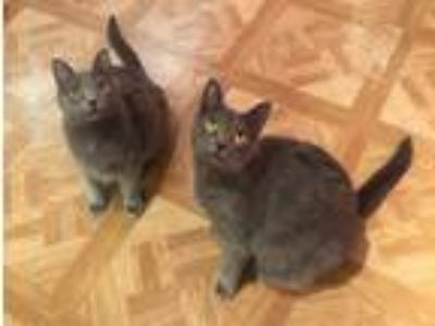 Adopt Rosie & Minnie a Domestic Medium Hair, Russian Blue